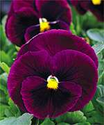 Annual MAMMOTH ROCKY ROSE PANSY Seeds   Extra Large