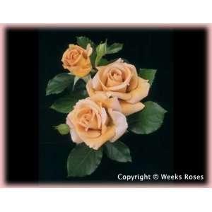 Honey Dijon (Rosa Grandiflora)   Bare Root Rose: Patio