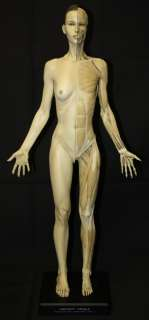 Full Body Ecorche Female Muscle Medical Art Model