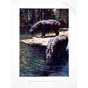 1906 Color Print Liberia Africa Pygmy Hippopotamus Harry