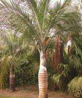 HISPANIOLA Cherry Wine Palm Tree Pseudophoenix vinifera