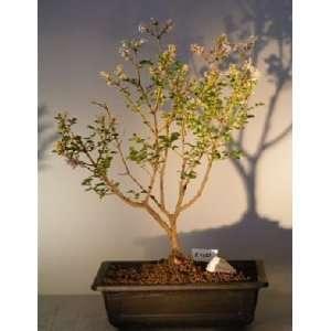 Bonsai Boys Dwarf Korean Lilac Bonsai Tree syringa palabiniana